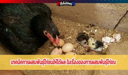 เทคนิคการผสมพันธุ์ไก่ชนให้ได้ผล ในเรื่องของการผสมพันธุ์ไก่ชน