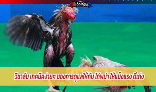 วิชาลับ เทคนิคง่ายๆ ของการดูแลให้กับ ไก่พม่า ให้แข็งแรง ตีเก่ง