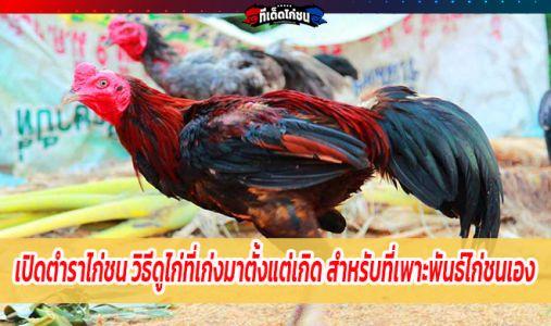 เปิดตำราไก่ชน วิธีดูไก่ที่เก่งมาตั้งแต่เกิด สำหรับนักพนันมือใหม่ที่เพาะพันธ์ไก่