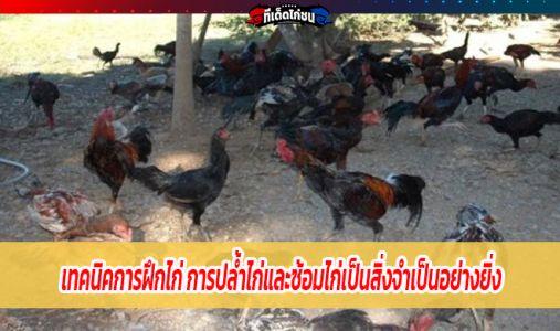 เทคนิคการฝึกไก่ การปล้ำไก่และซ้อมไก่เป็นสิ่งจำเป็นอย่างยิ่ง
