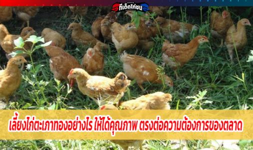 เลือกเลี้ยงไก่ตะเภาทองอย่างไร ให้ได้คุณภาพ ตรงต่อความต้องการของตลาด และขายได้ทุก