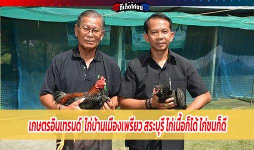 เกษตรอินเทรนด์  ไก่บ้านเมืองเพรียว สระบุรี ไก่เนื้อก็ได้ ไก่ชนก็ดี