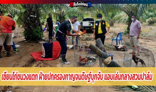 เซียนไก่ชนวงแตก ฝ่ายปกครองกาญจนดิษฐ์บุกจับ แอบเล่นกลางสวนปาล์ม จับได้ 12 คน