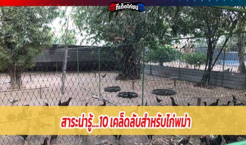 สาระน่ารู้....10 เคล็ดลับสำหรับไก่พม่า