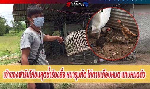 เจ้าของฟาร์มไก่ชนสุดช้ำร้องสื่อ หมารุมกัด ไก่ตายเกือบหมด แทบหมดตัว
