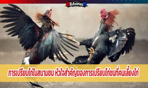 การเปรียบไก่ในสนามชน หัวใจสำคัญของการเปรียบไก่ชนที่คนเลี้ยงไก่