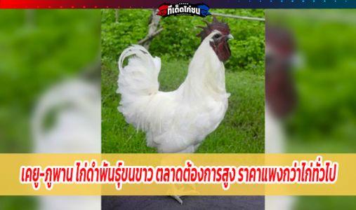 เคยู-ภูพาน ไก่ดำพันธุ์ขนขาว ตลาดมีความต้องการสูง มีราคาแพงกว่าไก่ทั่วไป