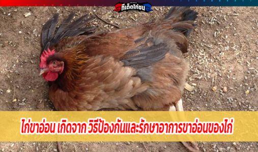ไก่ขาอ่อน เกิดจาก วิธีป้องกันและรักษาอาการขาอ่อนของไก่